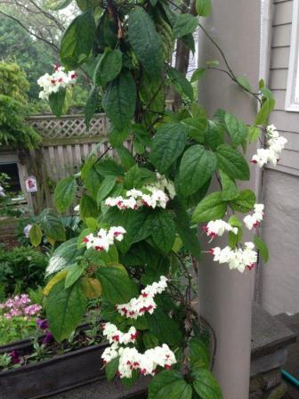Tropical Bleeding Heart vines
