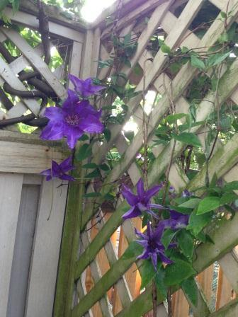 The President_Clematis