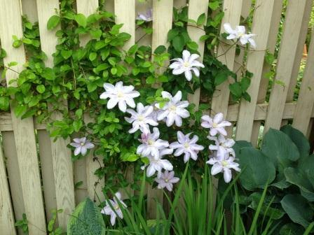 Will Goodwin_Clematis