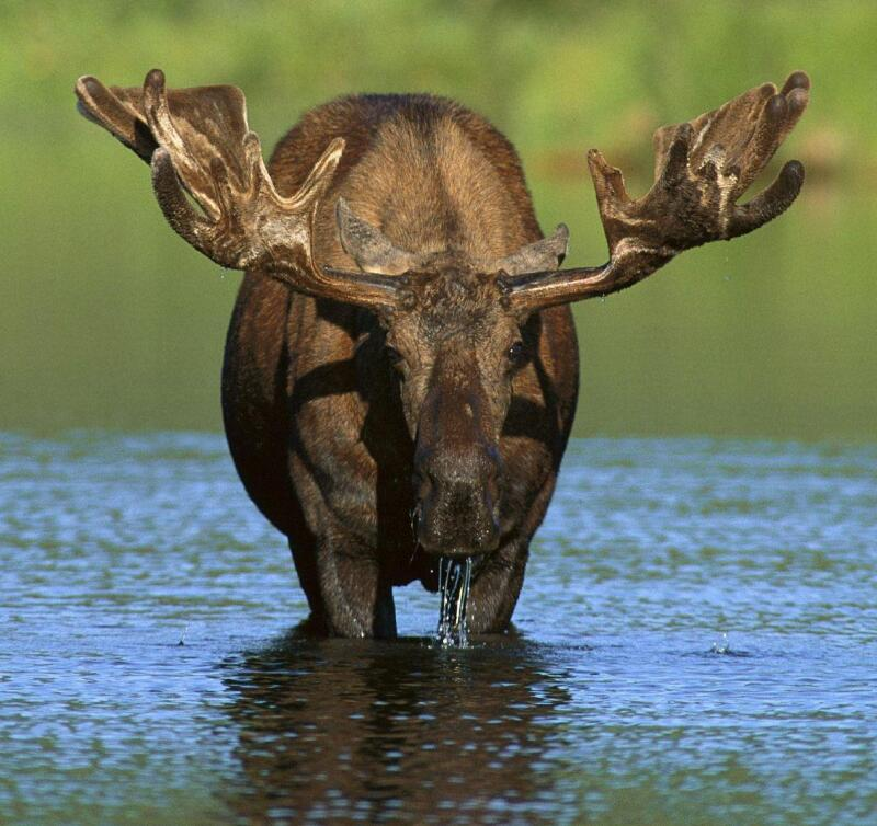Cropped Moose_Cover photo by Keenan Ward Photography