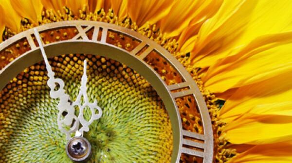 localaarp sunflower