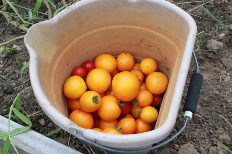 TomatoesDOS15