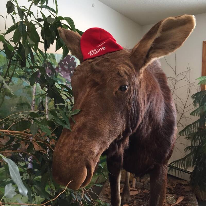 Moose with AARP Maine winter hat, Photo Credit Amy Gallant