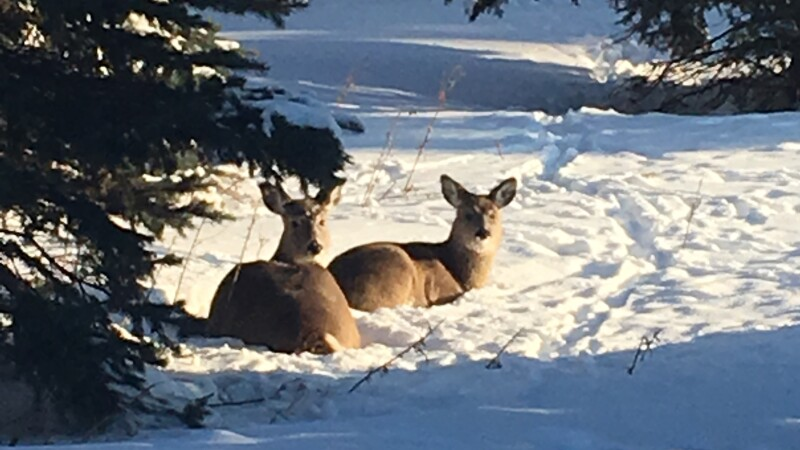 Two deer sitting in snow