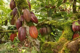 Plant of Cacao