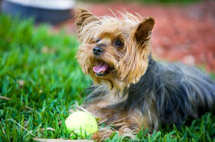 Small dog in yard with ball