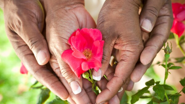 Senior African American Couple Hands Holding Rose Flower