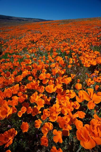 california-poppies