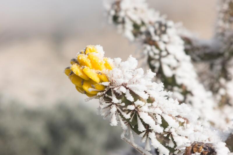 frozen Texas cactus