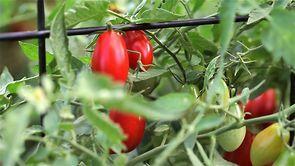 Walnut tomatoes