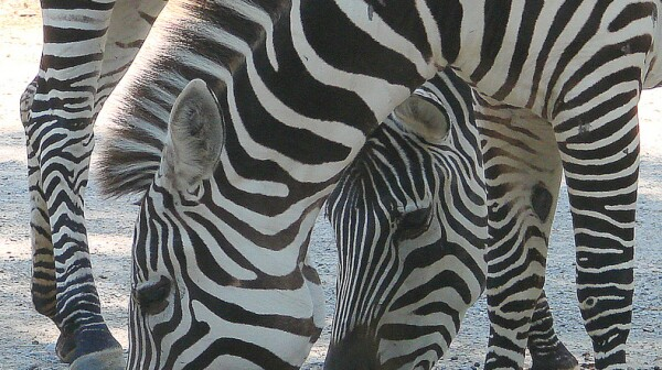 biggertree_zebra