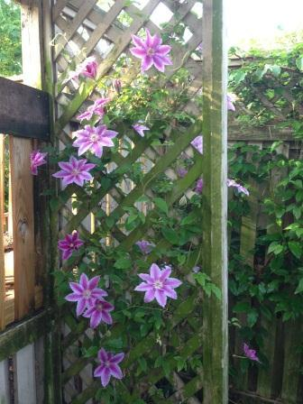 Dr Rupple_Clematis