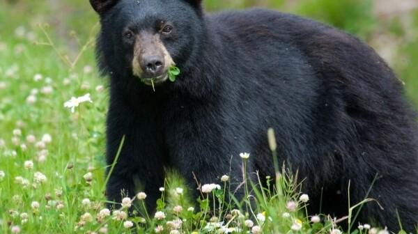 Black Bear eating clover
